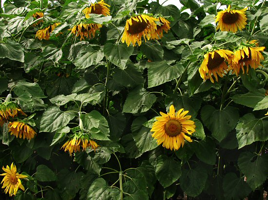 Greening Our Life: Van Gogh Vision: Sunflower Summer