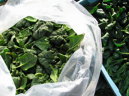 Last spinach harvest of the year