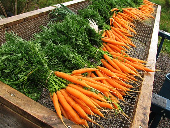 Carrots, rinsed and bundled
