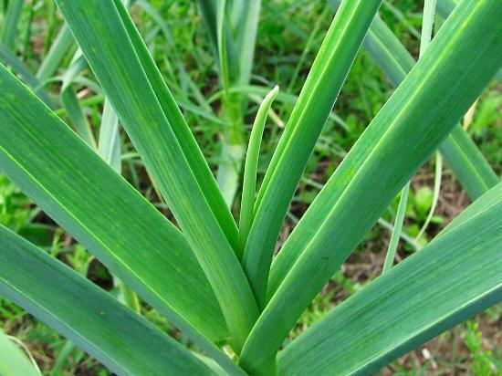 Emerging garlic scape