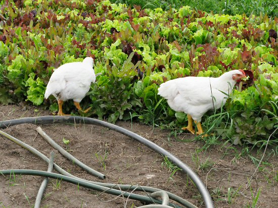 Chickens in the veggie garden
