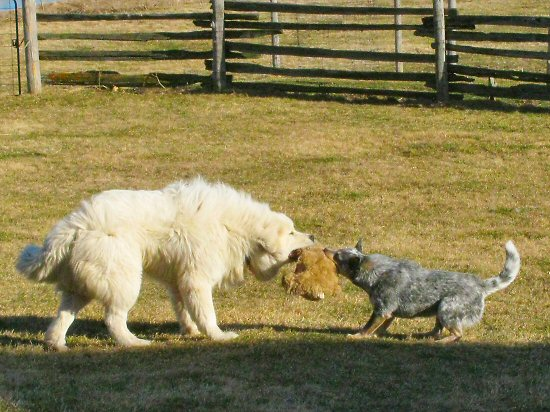 Great Pyrenees vs Australian Cattle Dog