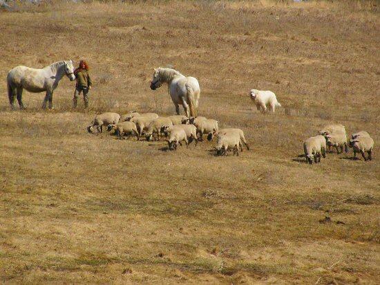 Montana with horses, sheep, dog