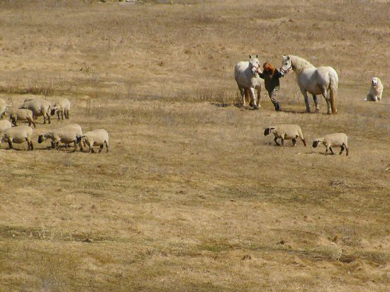 Montana with horses, sheep, dog