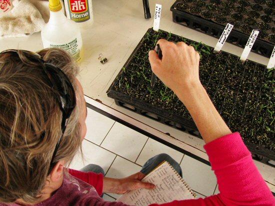 Counting pepper seedlings