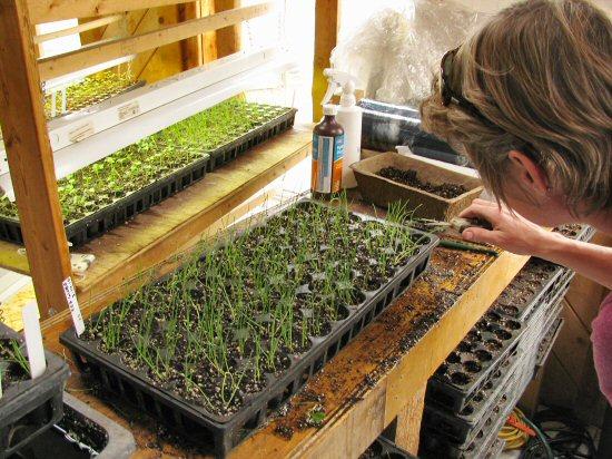 Thinning onion seedlings