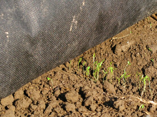 Carrot germination refinement continues