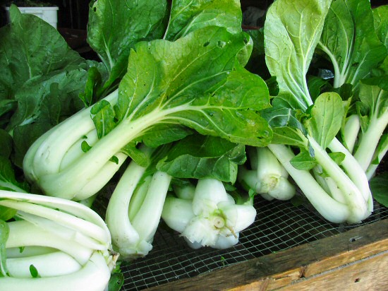 Just-harvested bok choi