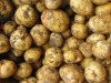 First potatoes of the season: Yukon Gold