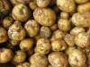 First potatoes of the season: Yukon Gold