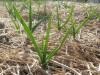 Garlic in early April