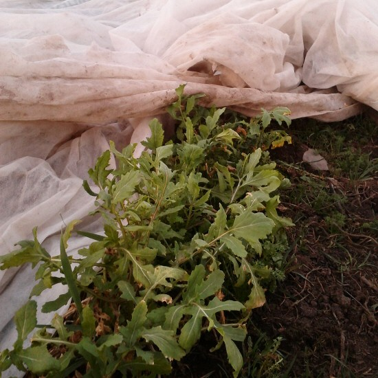 arugula-survives-freezing-early-march