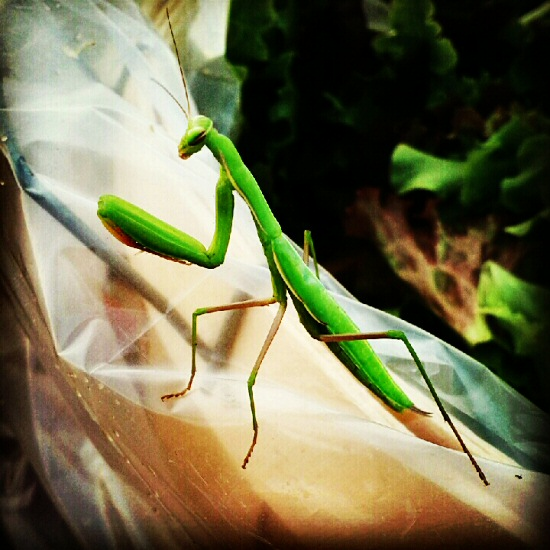 Praying mantis visit