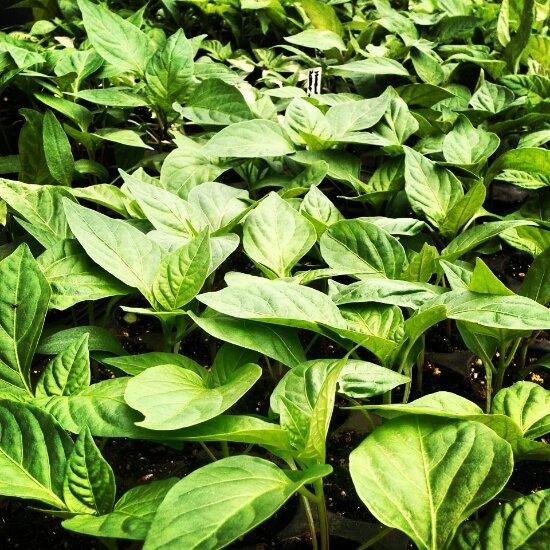 Seas of seedlings