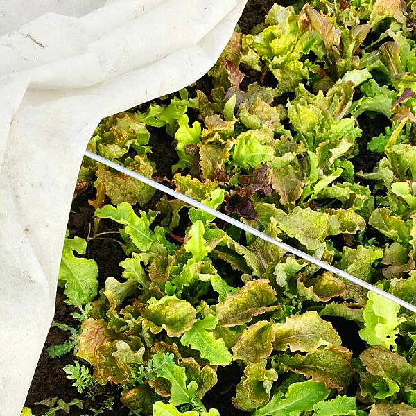 Lettuce mix in winter