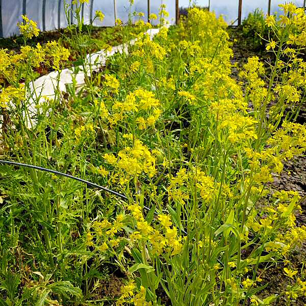 Brassica flowers: edible!
