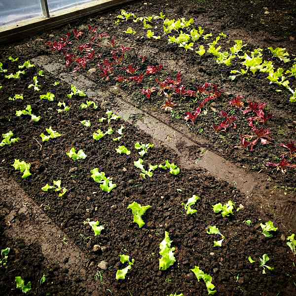Lettuce transplants in the greenhouse