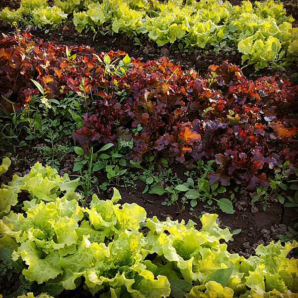 Greenhouse lettuce, growing