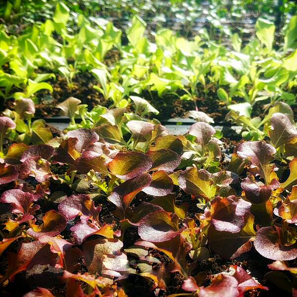 Lettuce landscape
