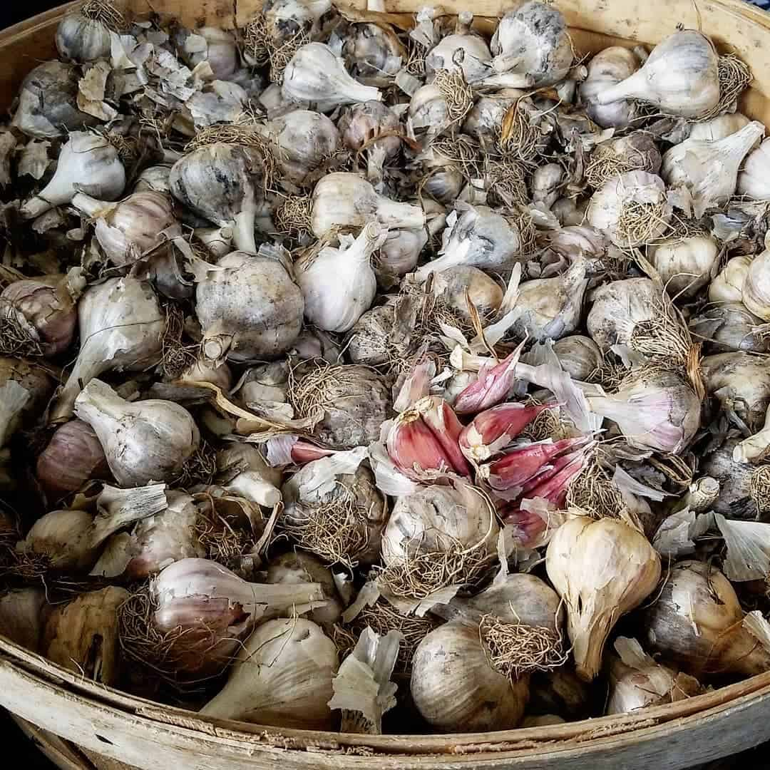 Bushel of Music garlic